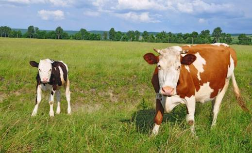 u-austriji-zabranjeno-da-krave-nocu-nose-zvona-oko-vrata-slika-151761