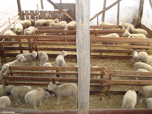 jagnjad-krivareka