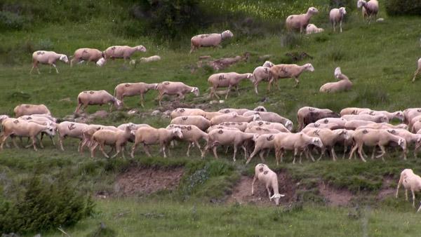 Šarplaninska stada ovaca
